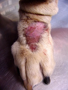 Ringworm is fungal infection you can treat with your doggie first aid